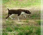 Small #4 German Shorthaired Pointer
