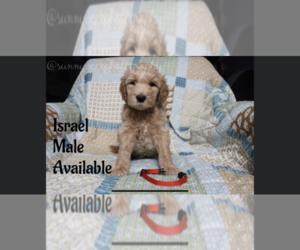 Goldendoodle Dog for Adoption in GR, Michigan USA
