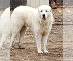 Small #6 Great Pyrenees
