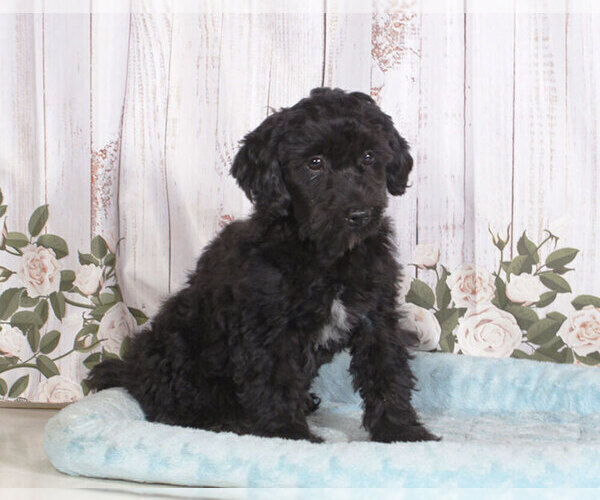 Medium Photo #1 Shih-Poo Puppy For Sale in PENNS CREEK, PA, USA