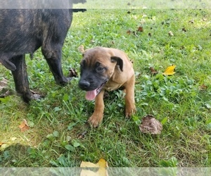 Mastiff Puppy for sale in AMANDA, OH, USA