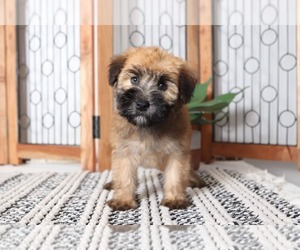 Soft Coated Wheaten Terrier Puppy for sale in NAPLES, FL, USA