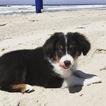 Miniature Australian Shepherd Puppy For Sale in SAN DIEGO, CA, USA