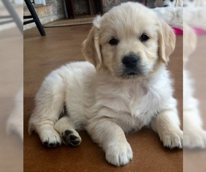 English Cream Golden Retriever Puppy for Sale in CHUCKEY, Tennessee USA