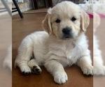 English Cream Golden Retriever Puppy For Sale in CHUCKEY, TN, USA