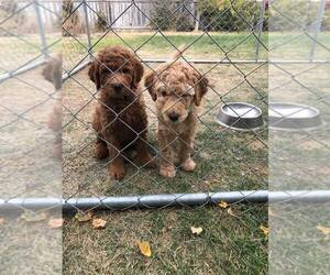 Goldendoodle Puppy for Sale in NAMPA, Idaho USA