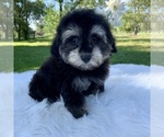 Small #10 Havanese-Poodle (Toy) Mix