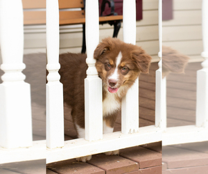Australian Shepherd Puppy for sale in ROCKY MOUNT, VA, USA