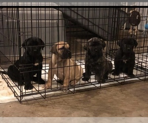 Presa Canario Puppy for Sale in POWDER SPRINGS, Georgia USA