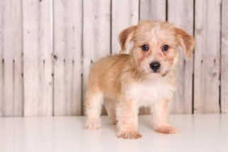 Morkie Puppy For Sale in MOUNT VERNON, OH