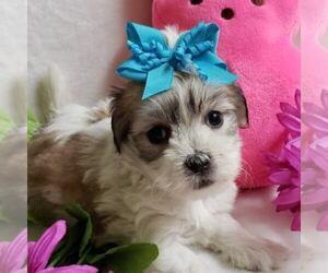 Coton de Tulear Puppy for sale in ROCKFORD, MI, USA