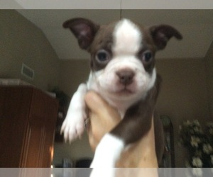 American Boston Bull Terrier Puppy for Sale in MENIFEE, California USA