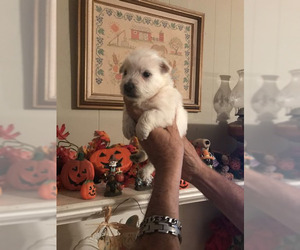 West Highland White Terrier Puppy for sale in S BRUNSWICK, NC, USA