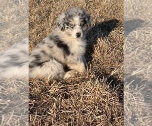 Australian Shepherd Puppy for sale in RED OAK, IA, USA