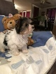 Yorkshire Terrier Puppy For Sale in ALA COUSHATTA IND RES, TX, USA