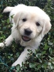 Golden Retriever Puppy For Sale in LAKELAND, FL,