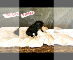 F2 Aussiedoodle Puppy for Sale in CHANDLER, Arizona USA