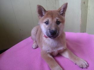Shiba Inu Puppy for sale in PATERSON, NJ, USA