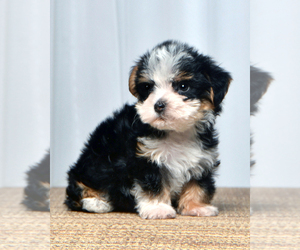 Yorkshire Terrier Puppy for sale in ALLEN, TX, USA