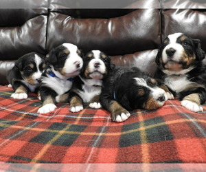 Bernese Mountain Dog Puppy for Sale in POUND, Virginia USA