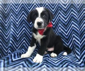 Border Collie Puppy for sale in NARVON, PA, USA
