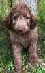 Poodle (Standard) Puppy For Sale in BELLVILLE, Ohio,