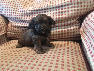 Golden Mountain Dog Puppy For Sale in TUCKAHOE, NY, USA