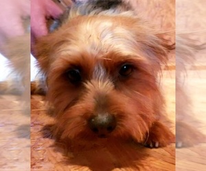 Yorkshire Terrier Puppy for sale in PINK HILL, NC, USA