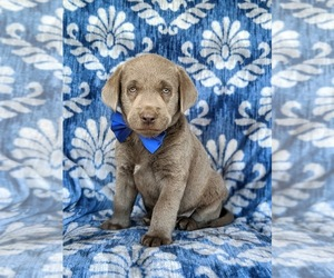 Labrador Retriever Puppy for sale in PEACH BOTTOM, PA, USA