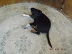 Border-Aussie Puppy For Sale in EVANS, WA, USA