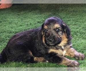 Shepadoodle Puppy for Sale in BELLA VISTA, Arkansas USA