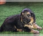 Puppy 1 Shepadoodle
