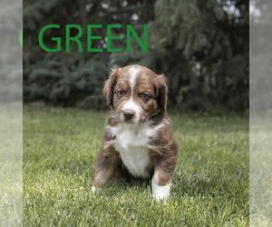 Aussiedoodle Dog for Adoption in MONTROSE, Colorado USA