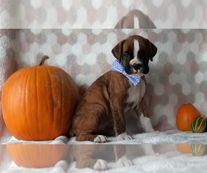 Boxer Puppy for sale in LANCASTER, PA, USA