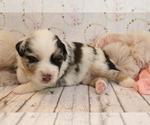 Small #3 Australian Shepherd