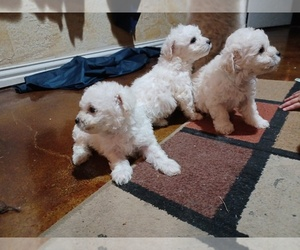 Poodle (Miniature) Puppy for sale in KENNEDALE, TX, USA