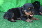 Rottweiler Puppy For Sale in CHINO HILLS, CA