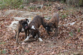 Boxer Puppy For Sale in COLUMBIA, KY