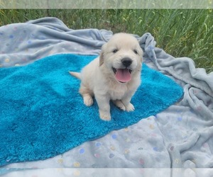 English Cream Golden Retriever Puppy for Sale in BLACK FOREST, Colorado USA