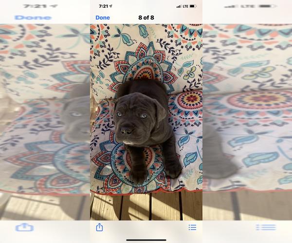 Medium Photo #1 Cane Corso Puppy For Sale in ELBERFELD, IN, USA