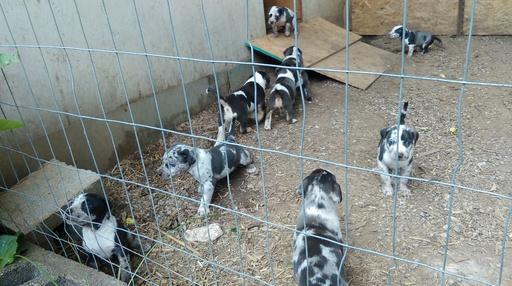 View Ad Catahoula Leopard Dog Litter Of Puppies For Sale