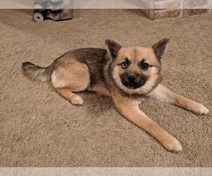 Pomsky Puppy for Sale in ASHLAND, Missouri USA