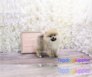 Pomeranian Puppy for sale in FULLERTON, CA, USA