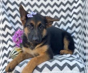German Shepherd Dog Puppy for sale in CEDAR LANE, PA, USA