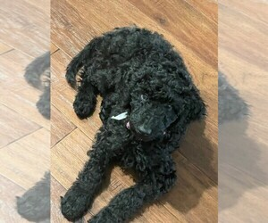 Poodle (Standard) Puppy for sale in FALMOUTH, VA, USA