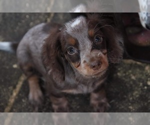Dachshund Puppy for sale in MANHATTAN, NY, USA
