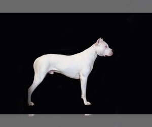 Father of the Dogo Argentino puppies born on 01/21/2019