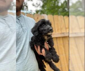 Aussiedoodle Puppy for Sale in SPENCER, Tennessee USA
