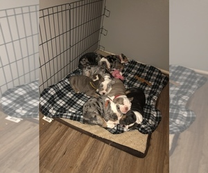 Olde English Bulldogge Puppy for sale in LONGVIEW, WA, USA