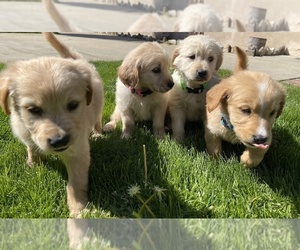 Golden Retriever Puppy for sale in UPLAND, CA, USA